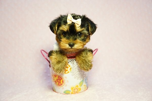 Queen Elizabeth - Tiny Teacup Yorkie Puppy has found a good loving home with Vicky from West Hills, CA 91304-24396
