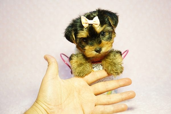 Queen Elizabeth - Tiny Teacup Yorkie Puppy has found a good loving home with Vicky from West Hills, CA 91304-0