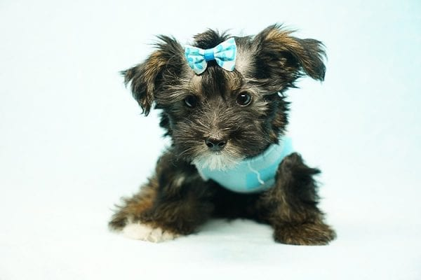 Roger Federer - Toy Yorkie Puppy has found a good loving home with Joanna from Las Vegas, NV 89110-0