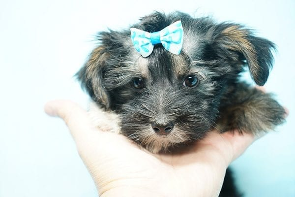 Roger Federer - Toy Yorkie Puppy has found a good loving home with Joanna from Las Vegas, NV 89110-24613