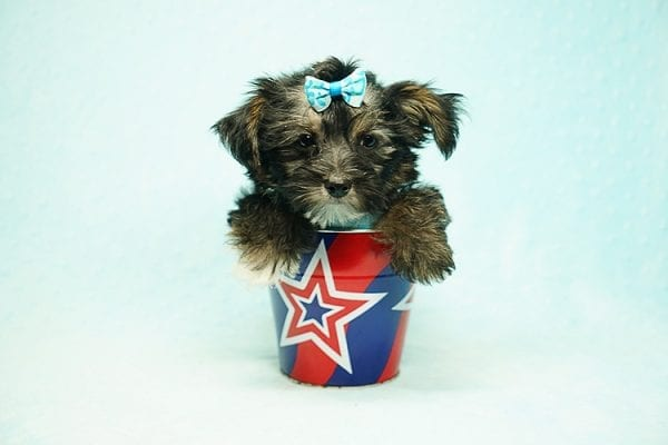 Roger Federer - Toy Yorkie Puppy has found a good loving home with Joanna from Las Vegas, NV 89110-24609