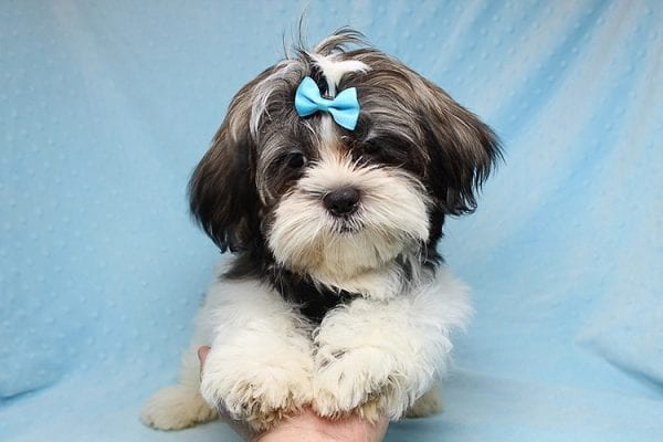 Roger Waters - Toy Shih Tzu Puppy found a new home with Eden S from Irvine CA 92602-0