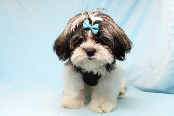 Roger Waters - Toy Shih Tzu Puppy found a new home with Eden S from Irvine CA 92602-24965