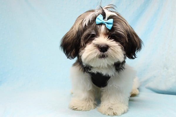 Roger Waters - Toy Shih Tzu Puppy found a new home with Eden S from Irvine CA 92602-24967