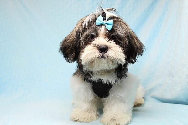 Roger Waters - Toy Shih Tzu Puppy found a new home with Eden S from Irvine CA 92602-24969