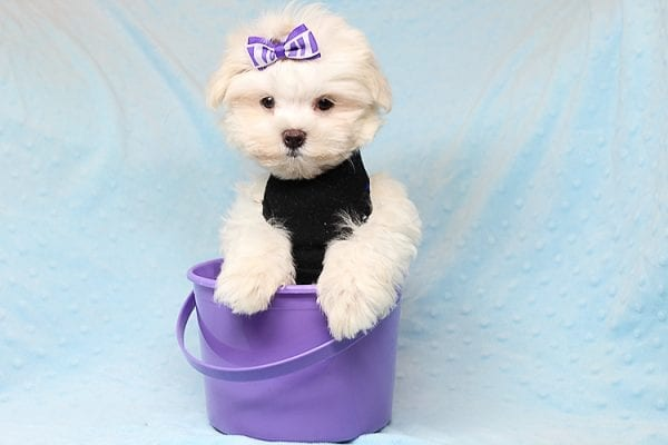 Snow Ball - Teacup Maltese Puppy has found a good loving home with Nallely from Whittier, CA 90605-24648