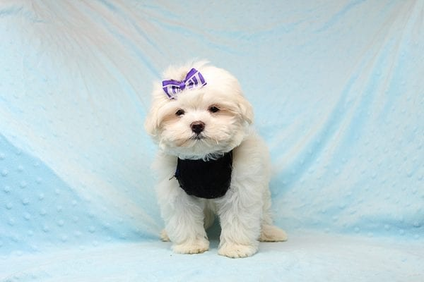 Snow Ball - Teacup Maltese Puppy has found a good loving home with Nallely from Whittier, CA 90605-24652