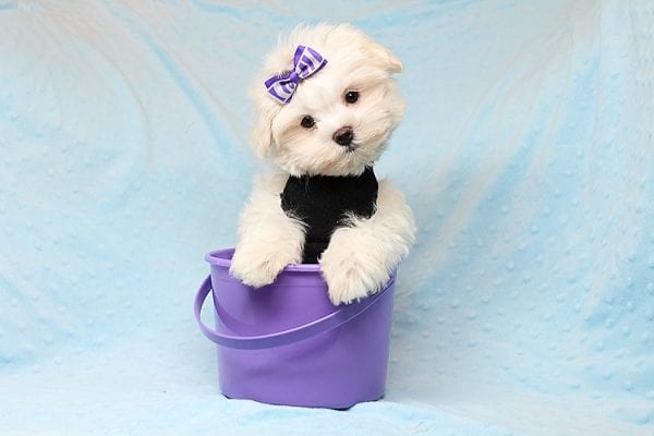 Snow Ball - Teacup Maltese Puppy has found a good loving home with Nallely from Whittier, CA 90605-0
