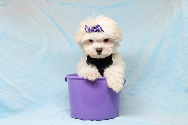 Snow Ball - Teacup Maltese Puppy has found a good loving home with Nallely from Whittier, CA 90605-24647