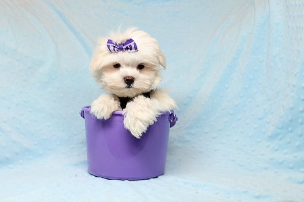 Snow Ball - Teacup Maltese Puppy has found a good loving home with Nallely from Whittier, CA 90605-24649