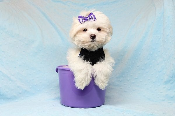 Snow Ball - Teacup Maltese Puppy has found a good loving home with Nallely from Whittier, CA 90605-24653