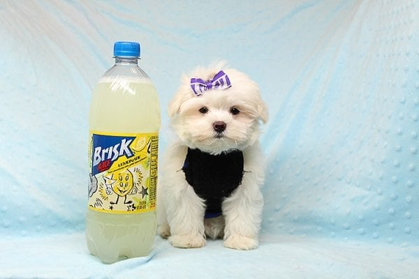 Snow Ball - Teacup Maltese Puppy has found a good loving home with Nallely from Whittier, CA 90605-24651