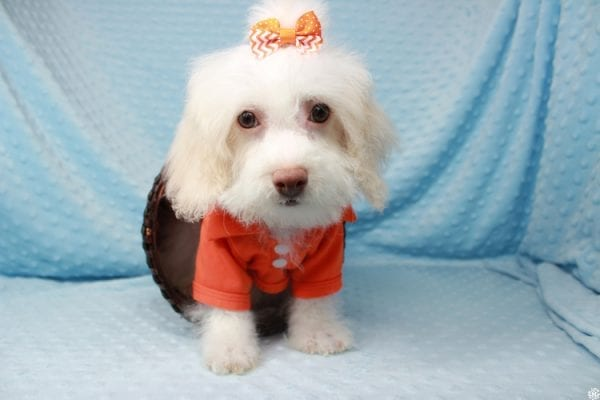Sylvester - Toy Poodle Puppy has found a good loving home with Barbara from West Hills, CA 91307.-25604