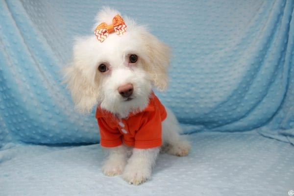 Sylvester - Toy Poodle Puppy has found a good loving home with Barbara from West Hills, CA 91307.-25600