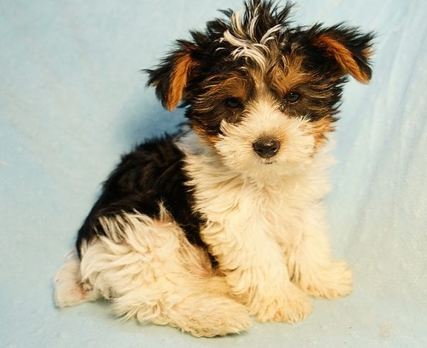 Tom Cruiz - Teacup Parti Yorkie Puppy In Los AngelesFound His New Loving Home With Taylor from Studio City CA 91604-24300