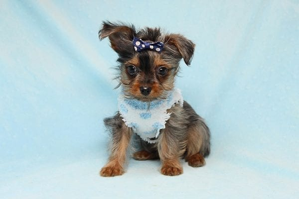 Tiny George - Tiny Teacup Yorkie Puppy has found a good loving home with Aretha from N. Las Vegas, NV 89084.-0