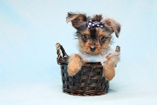 Tiny George - Tiny Teacup Yorkie Puppy has found a good loving home with Aretha from N. Las Vegas, NV 89084.-27620