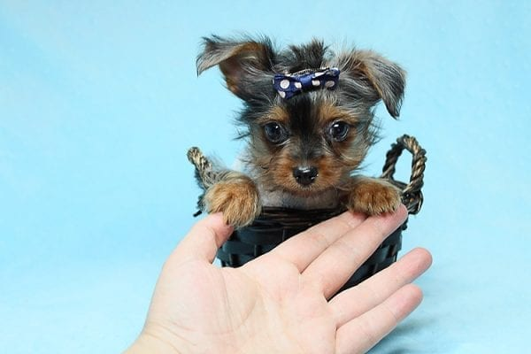 Tiny George - Tiny Teacup Yorkie Puppy has found a good loving home with Aretha from N. Las Vegas, NV 89084.-27622