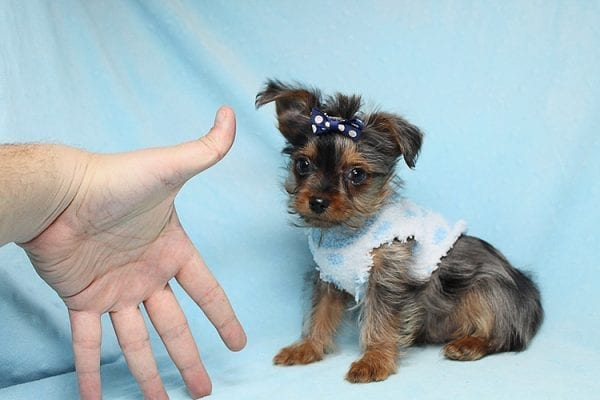 Tiny George - Tiny Teacup Yorkie Puppy has found a good loving home with Aretha from N. Las Vegas, NV 89084.-27623