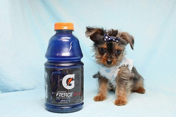 Tiny George - Tiny Teacup Yorkie Puppy has found a good loving home with Aretha from N. Las Vegas, NV 89084.-27626