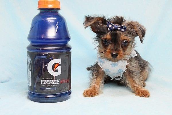 Tiny George - Tiny Teacup Yorkie Puppy has found a good loving home with Aretha from N. Las Vegas, NV 89084.-27627