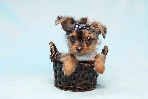 Tiny George - Tiny Teacup Yorkie Puppy has found a good loving home with Aretha from N. Las Vegas, NV 89084.-27631