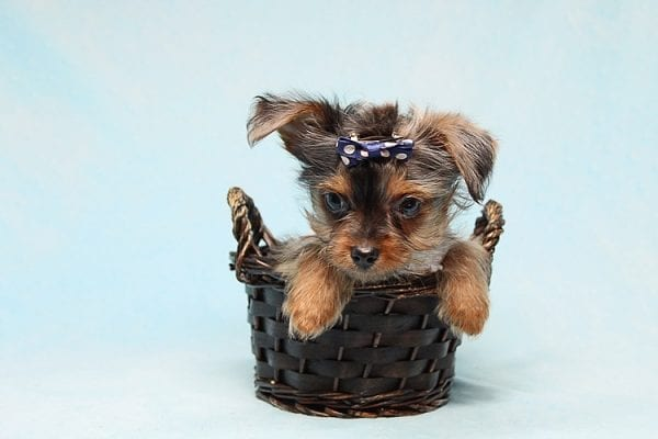 Tiny George - Tiny Teacup Yorkie Puppy has found a good loving home with Aretha from N. Las Vegas, NV 89084.-27632