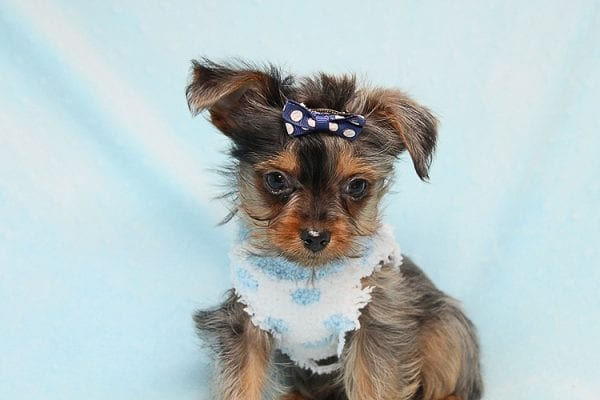 Tiny George - Tiny Teacup Yorkie Puppy has found a good loving home with Aretha from N. Las Vegas, NV 89084.-27617
