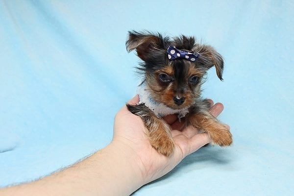 Tiny George - Tiny Teacup Yorkie Puppy has found a good loving home with Aretha from N. Las Vegas, NV 89084.-27618