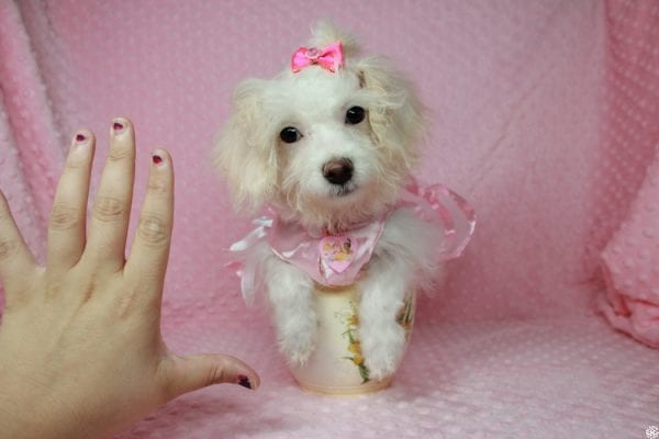 Tweety - Teacup Poodle Puppy Found her New Loving Home With Maria From Simi Valley CA 93065-25599