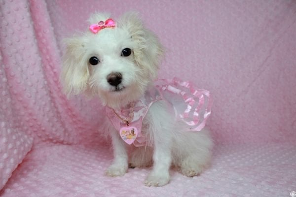 Tweety - Teacup Poodle Puppy Found her New Loving Home With Maria From Simi Valley CA 93065-25595