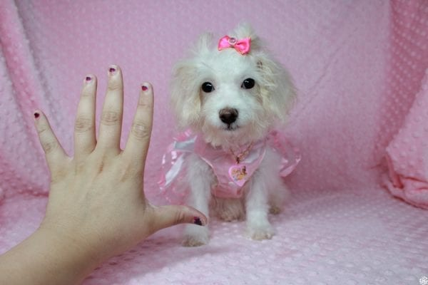 Tweety - Teacup Poodle Puppy Found her New Loving Home With Maria From Simi Valley CA 93065-25594