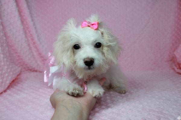 Tweety - Teacup Poodle Puppy Found her New Loving Home With Maria From Simi Valley CA 93065-25596