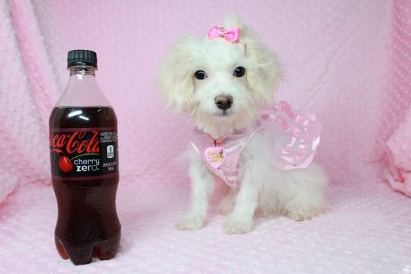 Tweety - Teacup Poodle Puppy Found her New Loving Home With Maria From Simi Valley CA 93065-0
