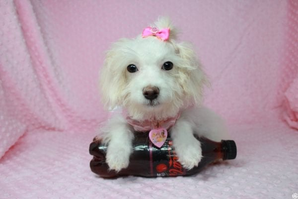 Tweety - Teacup Poodle Puppy Found her New Loving Home With Maria From Simi Valley CA 93065-25598