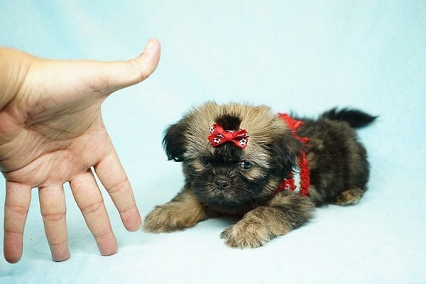 World Pup - Teacup Shih Tzu Puppy has found a good loving home with Jon from Clayton, CA 94517-24564