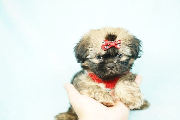 World Pup - Teacup Shih Tzu Puppy has found a good loving home with Jon from Clayton, CA 94517-24570