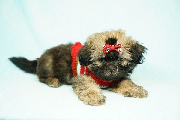 World Pup - Teacup Shih Tzu Puppy has found a good loving home with Jon from Clayton, CA 94517-24567