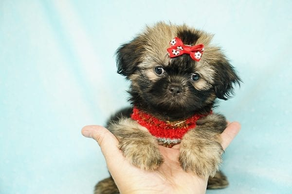 World Pup - Teacup Shih Tzu Puppy has found a good loving home with Jon from Clayton, CA 94517-24568