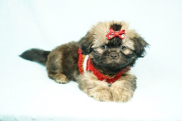 World Pup - Teacup Shih Tzu Puppy has found a good loving home with Jon from Clayton, CA 94517-24571