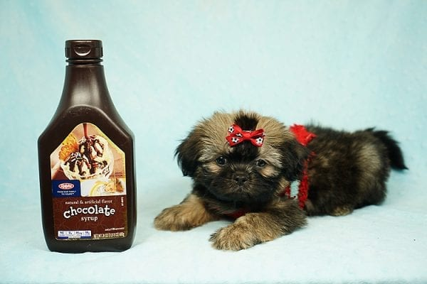 World Pup - Teacup Shih Tzu Puppy has found a good loving home with Jon from Clayton, CA 94517-24566