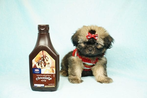 World Pup - Teacup Shih Tzu Puppy has found a good loving home with Jon from Clayton, CA 94517-0