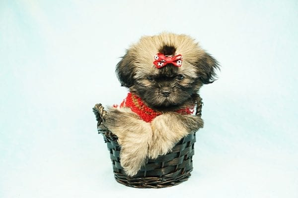 World Pup - Teacup Shih Tzu Puppy has found a good loving home with Jon from Clayton, CA 94517-24569