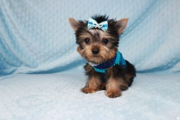 Ant-Man - Tiny Teacup Yorkie Puppy has found a good loving home with Dawn from Las Vegas, NV 89117.-25057