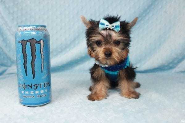 Ant-Man - Tiny Teacup Yorkie Puppy has found a good loving home with Dawn from Las Vegas, NV 89117.-25051