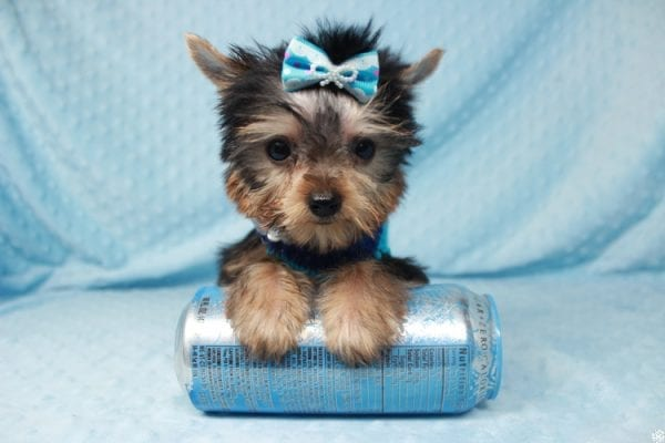 Ant-Man - Tiny Teacup Yorkie Puppy has found a good loving home with Dawn from Las Vegas, NV 89117.-25050