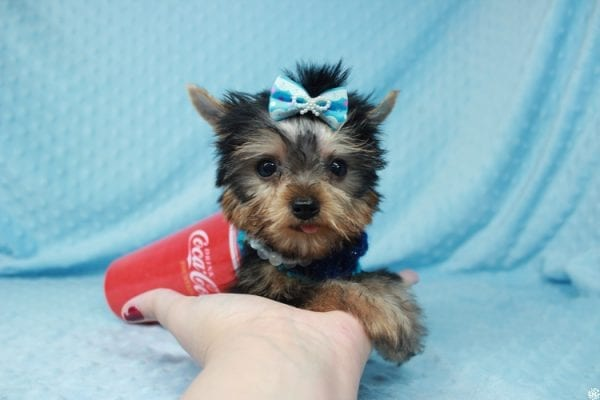 Ant-Man - Tiny Teacup Yorkie Puppy has found a good loving home with Dawn from Las Vegas, NV 89117.-25052