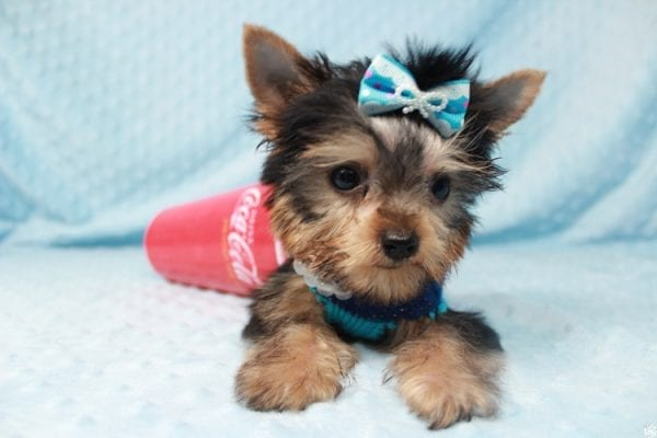 Ant-Man - Tiny Teacup Yorkie Puppy has found a good loving home with Dawn from Las Vegas, NV 89117.-25053