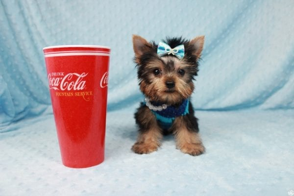 Ant-Man - Tiny Teacup Yorkie Puppy has found a good loving home with Dawn from Las Vegas, NV 89117.-0