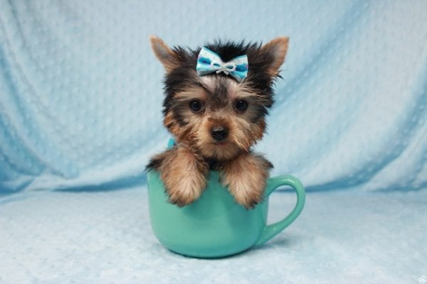 Ant-Man - Tiny Teacup Yorkie Puppy has found a good loving home with Dawn from Las Vegas, NV 89117.-25055